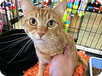 Domestic Shorthair Cat for adoption in Cerritos, California - Henessey