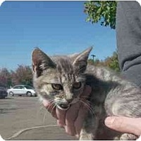 Adopt A Pet :: Tiger Kitten - Alliance, OH