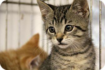 Domestic Shorthair Kitten for adoption in Albion, New York - Zorr
