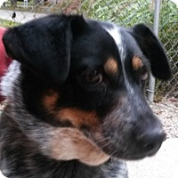 Adopt A Pet :: Macy - Muskegon, MI