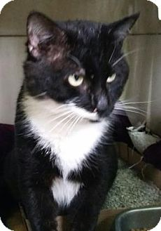 Domestic Shorthair Cat for adoption in Bedford, Indiana - Zorro