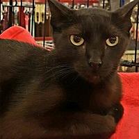 Bombay Cat for adoption in Lyons, Illinois - Noir