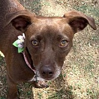 Dachshund Mix Dog for adoption in Phoenix, Arizona - Minka