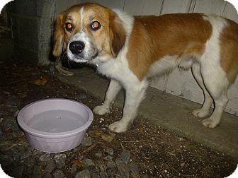 Border Collie Mix Puppy for adoption in Glastonbury, Connecticut - Keen