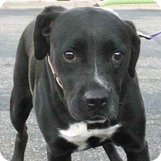 Boxer/Labrador Retriever Mix Dog for adoption in Minneapolis, Minnesota - Louise