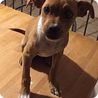 Adopt A Pet :: Lucy - El Paso, TX