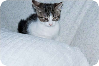 Domestic Shorthair Kitten for adoption in New Egypt, New Jersey - Patches