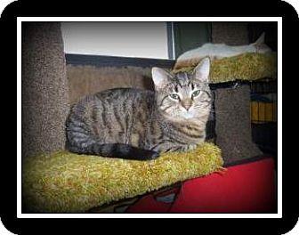 Domestic Shorthair Kitten for adoption in Medford, Wisconsin - PIXIE
