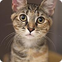 Adopt A Pet :: Tiger Lily - Sacramento, CA