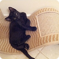 Adopt A Pet :: Shadow - Ft. Lauderdale, FL