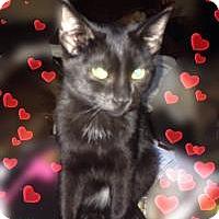 Domestic Shorthair Kitten for adoption in Ravenna, Texas - Sara Ellen Niblicks