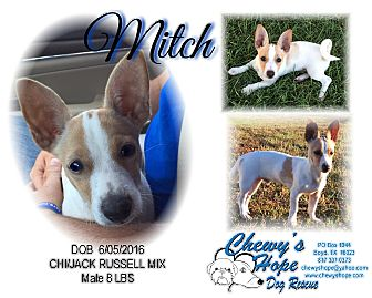 Jack Russell Terrier/Chihuahua Mix Puppy for adoption in Boyd, Texas - Mitch