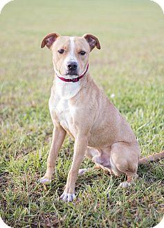 Pit Bull Terrier/Cattle Dog Mix Puppy for adoption in Manhattan, Kansas - Kyran- adoption pending