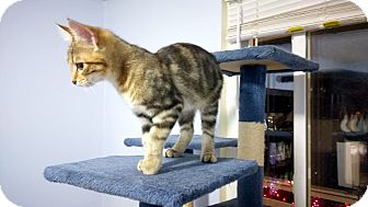 Domestic Shorthair Kitten for adoption in Columbus, Ohio - Squirrel