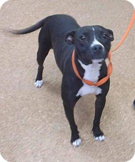 Boxer/Labrador Retriever Mix Dog for adoption in Orangeburg, South Carolina - Bryer
