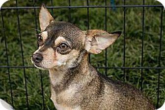 Chihuahua Mix Dog for adoption in Lodi, California - Ralph