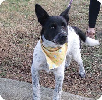 Border Collie/Australian Cattle Dog Mix Puppy for adoption in Somerset, Kentucky - Annie