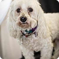Adopt A Pet :: Paddington - Glastonbury, CT
