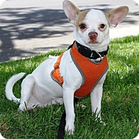 Chihuahua/Jack Russell Terrier Mix Dog for adoption in Los Angeles, California - Freddie
