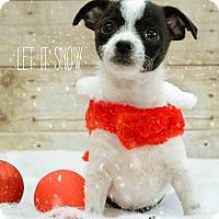 Adopt A Pet :: OREO WICKET - Higley, AZ