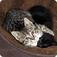 Adopt A Pet :: Fraser & Zara (Kitten Pair) - Arlington, VA