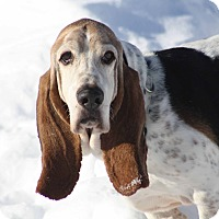 Adopt A Pet :: Cowboy - Sunderland, MA