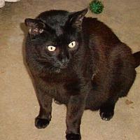 Domestic Shorthair Cat for adoption in Naples, Florida - Hopi