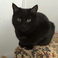 Domestic Shorthair Cat for adoption in Transfer, Pennsylvania - Tuesday