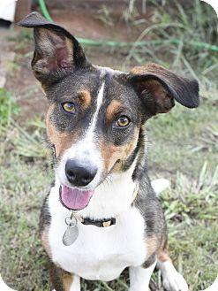 Basenji/Corgi Mix Dog for adoption in Huntsville, Alabama - Hazel