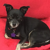 Chihuahua Mix Dog for adoption in Amarillo, Texas - YoYo