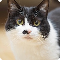 Domestic Shorthair Cat for adoption in Vancouver, British Columbia - Tiggy