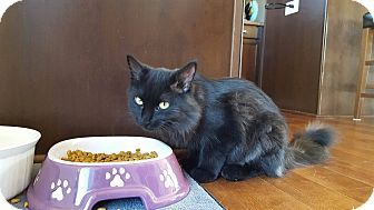 Domestic Longhair Cat for adoption in Rochester, Minnesota - Mink