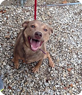 Australian Shepherd Mix Dog for adoption in Newburgh, Indiana - Sassy