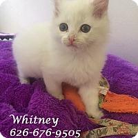 Adopt A Pet :: Adopt Baby WHITNEY - Monrovia, CA
