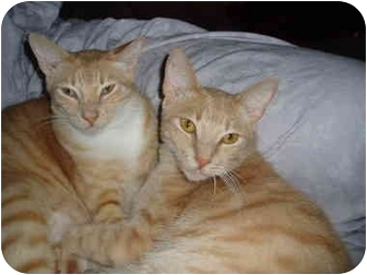 Abyssinian Cat for adoption in New Port Richey, Florida - Cinnamon and Bailey
