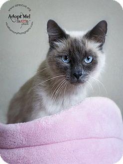 Siamese Cat for adoption in Phoenix, Arizona - Lauren
