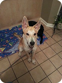 Carolina Dog Mix Dog for adoption in Cranston, Rhode Island - Tanner (located in SC)