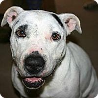 Adopt A Pet :: Tora - Albany, NY