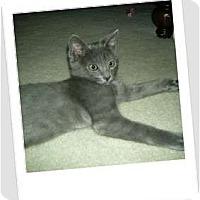 Adopt A Pet :: Skeeter-the royal feline! - Hurst, TX