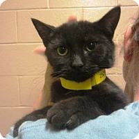 Adopt A Pet :: Wasabi the Panther - McDonough, GA