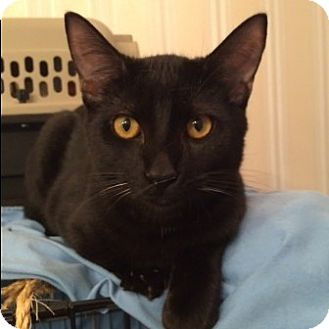 Domestic Shorthair Kitten for adoption in Houston, Texas - Moses