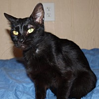 Domestic Shorthair Cat for adoption in Jackson, Mississippi - Laverne