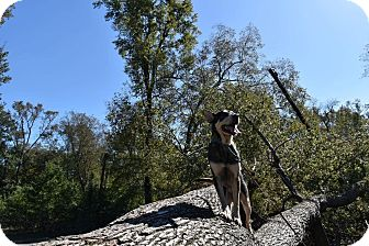 Shepherd (Unknown Type)/Husky Mix Dog for adoption in Goldsboro, North Carolina - Kramer