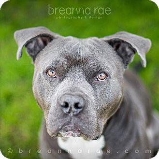 American Staffordshire Terrier Mix Dog for adoption in Sheboygan, Wisconsin - McDermott