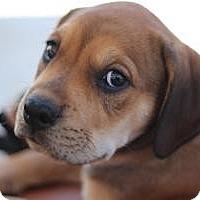Adopt A Pet :: Gus - Justin, TX