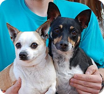 Rat Terrier Mix Dog for adoption in Las Vegas, Nevada - O'Ryan