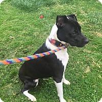 Adopt A Pet :: Josie - Earl, NC