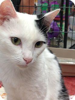 Domestic Mediumhair Cat for adoption in Redondo Beach, California - Leo