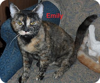 American Shorthair Cat for adoption in Pensacola, Florida - Emily
