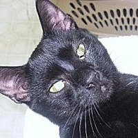 Domestic Shorthair Cat for adoption in New Bern, North Carolina - Cameron